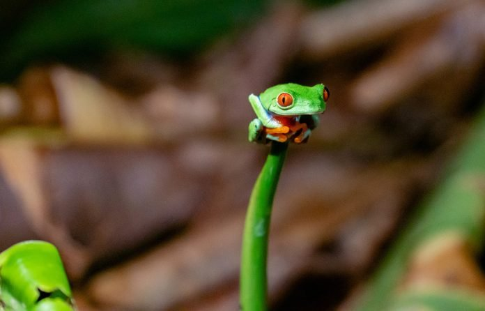 Best Vacation Destinations? Costa Rica one of them, says Travel + Leisure - Photo of Red-eyed leaf frog by Tim Manhalter on Unsplash