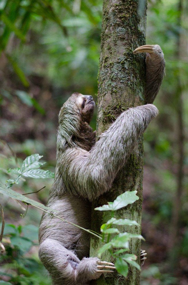 Three-toed sloth climbing a tree (Photo by Sebastian Molinares on Unsplash)
