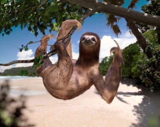 Sloth in a tree - qcostarica.com